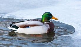 Πάπια πρασινολαιμών Στοκ εικόνα με δικαίωμα ελεύθερης χρήσης