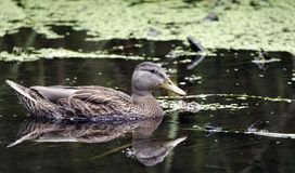 Πάπια πρασινολαιμών duckweed στο έλος, υγρότοποι Sweetwater στο Tucson Αριζόνα ΗΠΑ Στοκ φωτογραφία με δικαίωμα ελεύθερης χρήσης