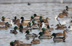 Πάπια πρασινολαιμών που κολυμπά σε μια λίμνη Στοκ Εικόνες