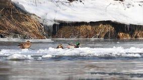 Πάπια πρασινολαιμών που προσγειώνεται στο νερό απόθεμα βίντεο