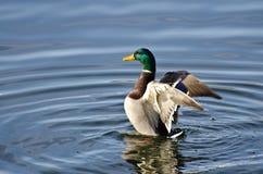 Πάπια πρασινολαιμών που τεντώνει τα φτερά του Στοκ εικόνες με δικαίωμα ελεύθερης χρήσης