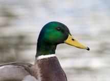 Πάπια πρασινολαιμών Στοκ Φωτογραφίες