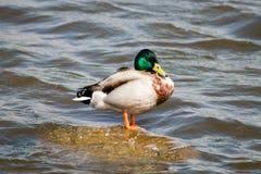 Πάπια πρασινολαιμών Στοκ εικόνες με δικαίωμα ελεύθερης χρήσης