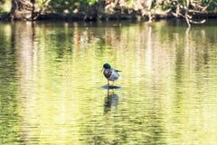 Πάπια πρασινολαιμών - Anas platyrhynchos - που στηρίζεται στο ξύλο, Sc πουλιών Στοκ Φωτογραφία