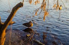 Πάπια σε έναν ποταμό Στοκ Εικόνα