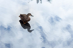 πάπια σε μια λίμνη Στοκ Εικόνα