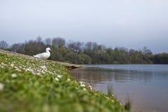 Πάπια στη λίμνη παπιών Στοκ φωτογραφίες με δικαίωμα ελεύθερης χρήσης