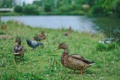 πάπια στη λίμνη στο πάρκο Στοκ εικόνα με δικαίωμα ελεύθερης χρήσης