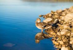 Πάπια στη λίμνη Στοκ εικόνα με δικαίωμα ελεύθερης χρήσης