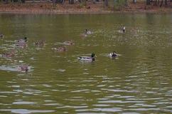 Πάπια στη λίμνη Στοκ Φωτογραφία