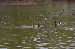 Πάπια στη λίμνη Στοκ Εικόνες