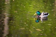 Πάπια στη λίμνη Στοκ Φωτογραφίες
