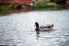 Πάπια στη λίμνη Στοκ εικόνες με δικαίωμα ελεύθερης χρήσης