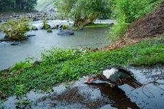 Πάπια στη βροχή Στοκ εικόνες με δικαίωμα ελεύθερης χρήσης