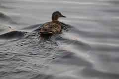 Πάπια στη λίμνη στοκ φωτογραφία με δικαίωμα ελεύθερης χρήσης