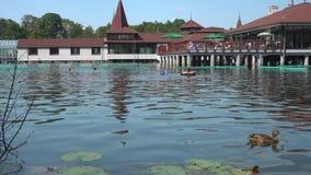 Πάπια στη λίμνη Heviz το καλοκαίρι απόθεμα βίντεο
