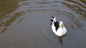 Πάπια στο νερό λιμνών απόθεμα βίντεο