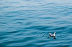 Πάπια στο νερό Στοκ Εικόνες