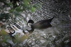 Πάπια στο νερό Στοκ φωτογραφία με δικαίωμα ελεύθερης χρήσης