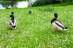 Πάπια στο πάρκο στο Ντίσελντορφ, Γερμανία, που περιβάλλεται από τα λουλούδια Στοκ Φωτογραφίες