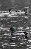 Πάπια στο ύδωρ Στοκ φωτογραφία με δικαίωμα ελεύθερης χρήσης