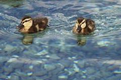 πάπια 2 μωρών Στοκ φωτογραφία με δικαίωμα ελεύθερης χρήσης