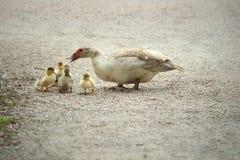 Πάπια Mom που διδάσκει τα παιδιά Στοκ Φωτογραφία