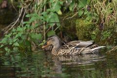 Πάπιες άγριας φύσης στο νερό Στοκ εικόνες με δικαίωμα ελεύθερης χρήσης