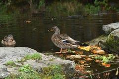 Πάπιες άγριας φύσης στο νερό Στοκ Φωτογραφία