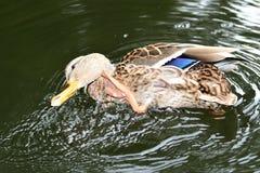 Πάπιες άγριας φύσης στο νερό Στοκ Φωτογραφίες