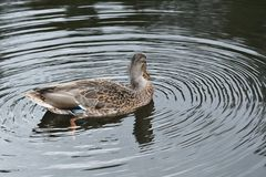 Πάπιες άγριας φύσης στο νερό Στοκ εικόνα με δικαίωμα ελεύθερης χρήσης