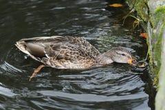 Πάπιες άγριας φύσης στο νερό Στοκ φωτογραφίες με δικαίωμα ελεύθερης χρήσης