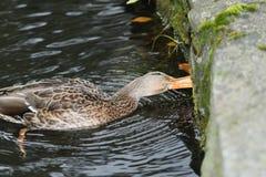 Πάπιες άγριας φύσης στο νερό Στοκ Εικόνες