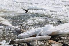 Πάπιες και άλλα πουλιά στο λειώνοντας ποταμό άνοιξη Στοκ φωτογραφία με δικαίωμα ελεύθερης χρήσης
