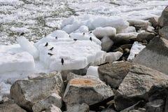 Πάπιες και άλλα πουλιά στο λειώνοντας ποταμό άνοιξη Στοκ εικόνες με δικαίωμα ελεύθερης χρήσης