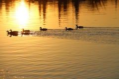 Πάπιες και ηλιοβασίλεμα Στοκ εικόνες με δικαίωμα ελεύθερης χρήσης