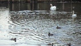 Πάπιες και κύκνοι στη λίμνη φιλμ μικρού μήκους