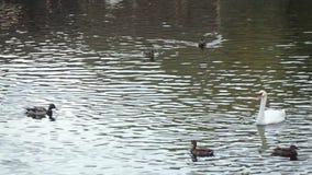 Πάπιες και κύκνοι στη λίμνη απόθεμα βίντεο