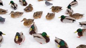 Πάπιες και περιστέρια πρασινολαιμών το χειμώνα στο χιόνι στο πάρκο πόλεων Σίτιση πουλερικών απόθεμα βίντεο