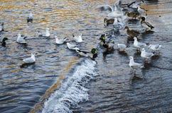 Πάπιες και seagulls Στοκ Εικόνα