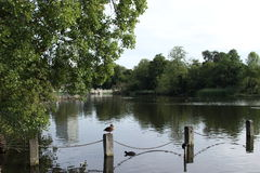 Πάπιες ποταμών του Λονδίνου Στοκ εικόνα με δικαίωμα ελεύθερης χρήσης