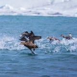 Πάπιες πουπουλοπαπιών που απογειώνονται για την πτήση σε μια αρκτική λίμνη Στοκ εικόνες με δικαίωμα ελεύθερης χρήσης