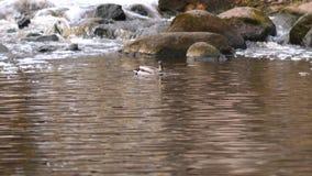 Πάπιες που αλιεύουν στο πάρκο κοντά επάνω φιλμ μικρού μήκους