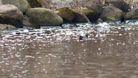 Πάπιες που αλιεύουν στο πάρκο κοντά επάνω απόθεμα βίντεο