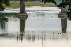 Πάπιες που επιπλέουν κοντά στις υποστηρίξεις γεφυρών μεταξύ ενός ευρύ ποταμού με μια όμορφη άποψη από πίσω από το φύλλωμα των δέν Στοκ φωτογραφία με δικαίωμα ελεύθερης χρήσης