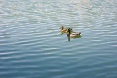 Πάπιες που επιπλέουν στη λίμνη Στοκ Εικόνες
