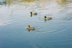 Πάπιες που επιπλέουν στη λίμνη Στοκ Φωτογραφίες