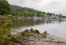 Πάπιες που κάθονται στους βράχους σε Ambleside, λίμνη Windermere, Cumbria Στοκ Φωτογραφία