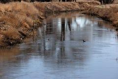 Πάπιες που κολυμπούν ένα ρεύμα στοκ εικόνα
