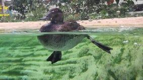 Πάπιες που κολυμπούν από τη μία πλευρά στην άλλη απόθεμα βίντεο